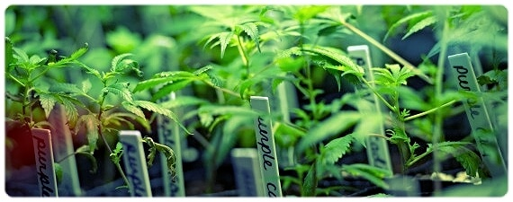 New York Marijuana Proposal Reaches Milestone, Sits Within Striking Distance of Becoming Law