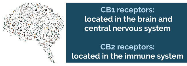 CB1 receptors are located in the brain and central nervous system, while CB2 receptors are located in the immune system
