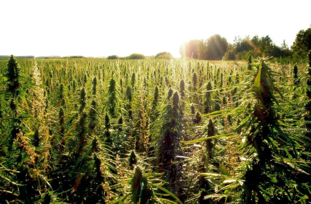 oil company develops marijuana grow operation