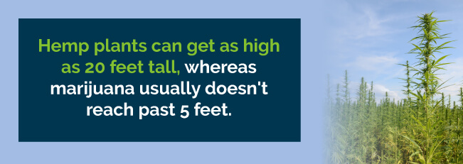 hemp marijuana height