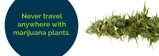 Never travel anywhere with marijuana plants