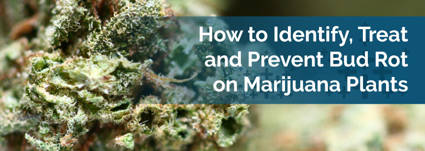 How to Identify Treat and Prevent Bud Rot on Marijuana Plants