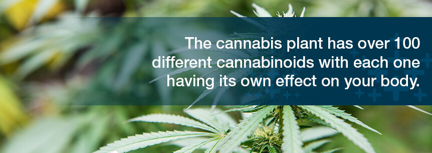 cannabis plant has over 100 cannabinoids