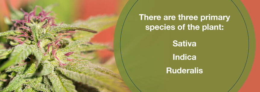 cannabis plant species