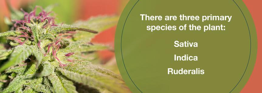 cannabis plant species