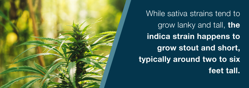indica plant height