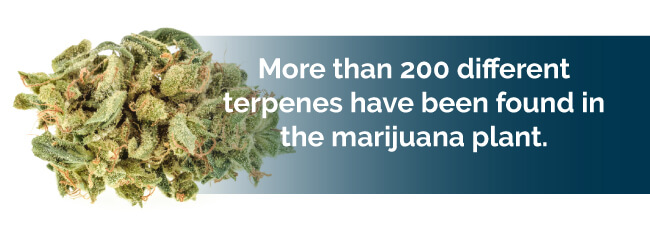 marijuana terpene types