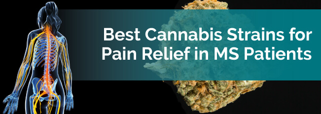 Best Cannabis Strains for Pain Relief in MS Patients