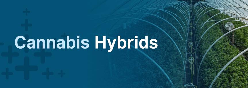 cannabis hybrids