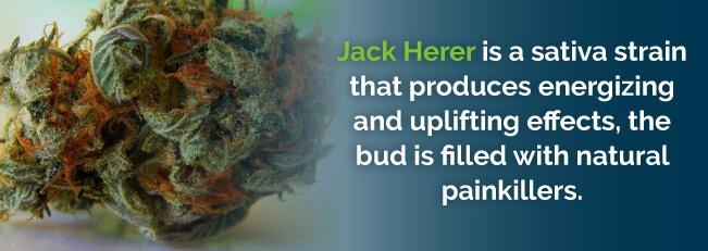 Jack Herer produces energizing and uplifting effects